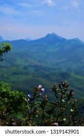 """""""Blooming Neelakurinjis (Strobilanthus kunthiana) of Munnar, Eravikulam national park, South India"""""""
