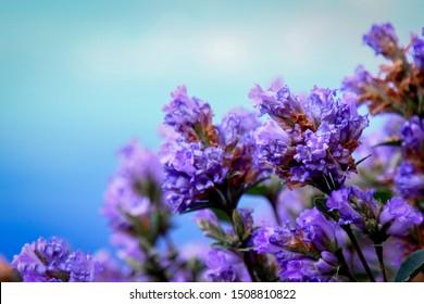 blooming of neelakurunji flowers ooty