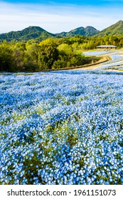 Blooming Nemophila Flowers or Baby Blue Eyes Blossoms in Spring in Manno Park Kagawa Prefecture in Japan, Botanical or Floral Image, Nobody - Shutterstock ID 1961151073