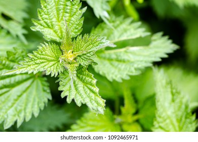 Blooming nettle shrub view from top. Opaque full frame green background