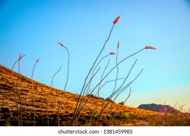 Blooming Ocotillo Cactus against a blue desert sky