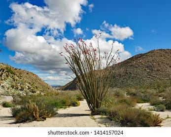 Blooming Ocotillo Cactus, Anza Borrego Desert, California, March 2019