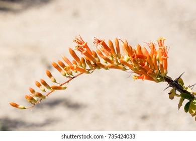 Blooming Ocotillo Cactus, AZ, USA
