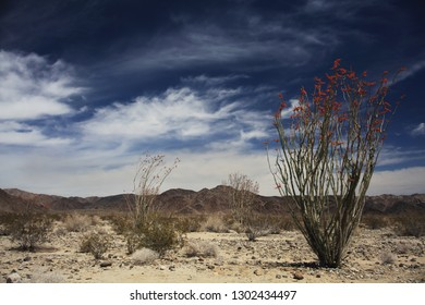 A blooming ocotillo plant and beautiful clouds in Joshua Tree National Park, CA.