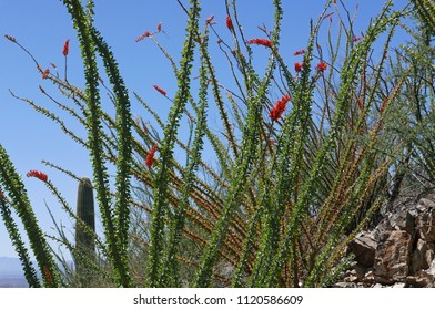 Blooming ocotillo in the Sonoran desert