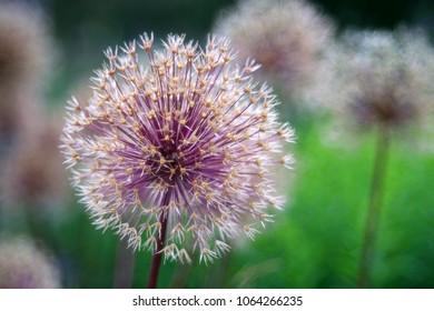 Blooming onion plant in garden. Flower decorative onion. White allium flower (allium giganteum). Beautiful blossoming onions. Garlic flowers. Giant ornamental onion.