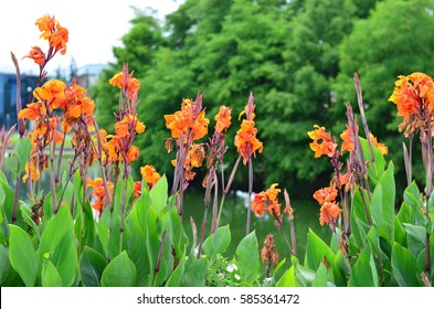 Blooming orange canna (Canna lily) on the waterfront of Batumi, Georgia on the background of Park