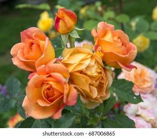 Rose Garden Images Stock Photos Vectors Shutterstock