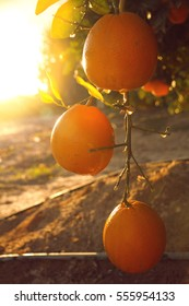 Blooming orange fruits on the trees in front of sunset, in israel. natural and food background