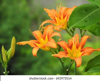Blooming orange lily in green garden