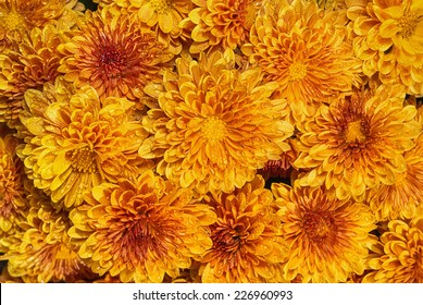 Blooming orange yellow Mums or Chrysanthemums with rain drops, autumn flower background