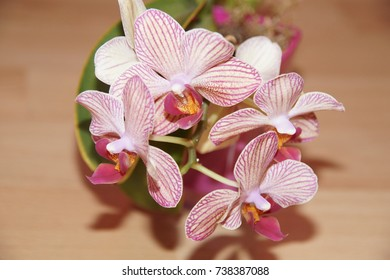 Blooming orchid hybrid pink Mini-Phalaenopsis with red lip