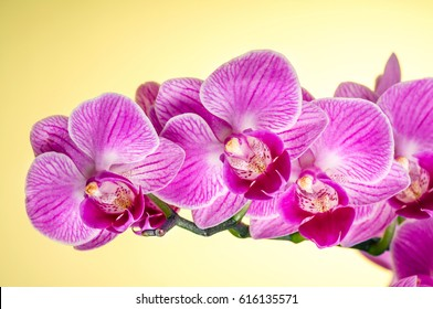 blooming orchid on yellow background