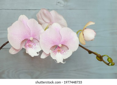 Blooming orchid Phalaenopsis, white speckled, Queen Kiss, macro photo, selective focus, horizontal orientation.