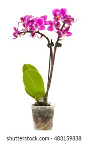 blooming orchid in a pot