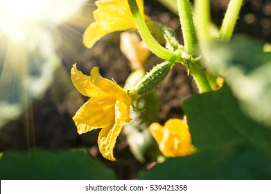 blooming ovary of young fresh organic vegetable, growing cucumbers on the field. Spring agricultural background