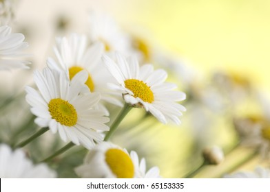 Blooming oxeye daisy at spring