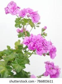 "Blooming ""PAC Lilac Rose Ivy-Leaved Geranium""  plant, Geranium Peltatum, Ivy-leaf geranium, Hanging geramium"