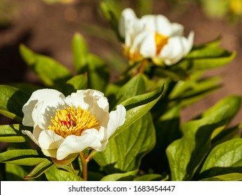 Blooming Paeonia lactiflora 'Miss America', known as Common garden peony, Chinese peony or White peony