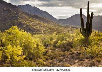 Blooming Palo Verde trees under a moody sky in the Sonoran Desert near Phoenix, Arizona