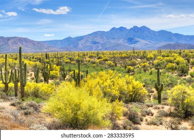 Blooming Palo Verdes and Saguaros at Four Peaks foot hills near Phoenix, Arizona.