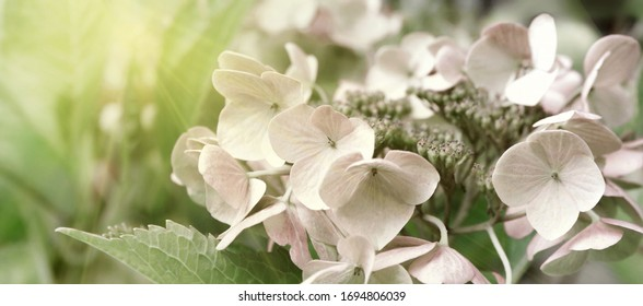 Blooming pastel pink Hydrangea in the warm morning sun. Panorama view. Mourning card concept photo.