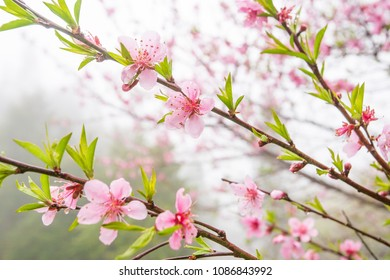Blooming Peach cherry trees on a rainy day. Pink flower in full bloom. Sa Pa, Vietnam. Soft sunlight. Close-up.