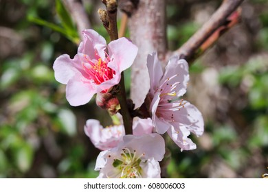 Blooming peach tree, pink flowers in spring