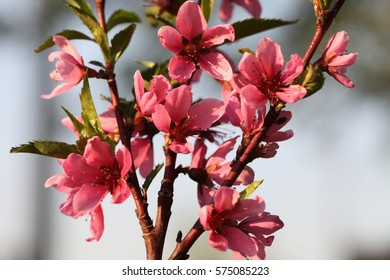 Blooming peach tree in spring. Pink flowers on a spring background.