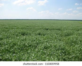 Blooming peas in the field. Flowering of legumes. Flowers of peas.