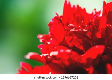 Blooming peony flower with morning dew. Natural background with bright red petals.