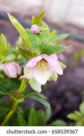Blooming perennial garden plant, medicinal herb Helleborus odorus. Selective focus.