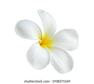 Blooming phumelia or Champa flower isolated with clipping path on white  background