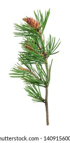 Blooming pine isolated on white background