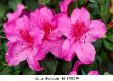 Blooming pink azalea flowers close-up in a botanical garden.