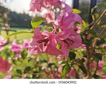 Blooming pink Bougainvillea spectabilis looks like a wall,beautiful light pink Bougainvillea flowers in the park.Bougainvillea flowers texture and background. Purple flowers of bougainvillea tree.