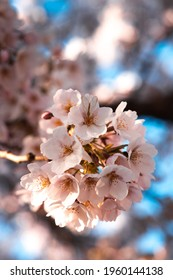 Blooming pink Cherry Blossoms Branch