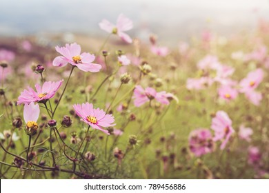 Blooming pink cosmos field on the mountain, Vintage tone