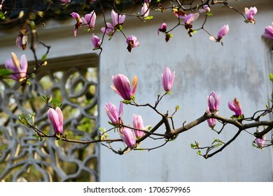 Blooming pink flowers in a Chinese Suzhou garden during spring time.