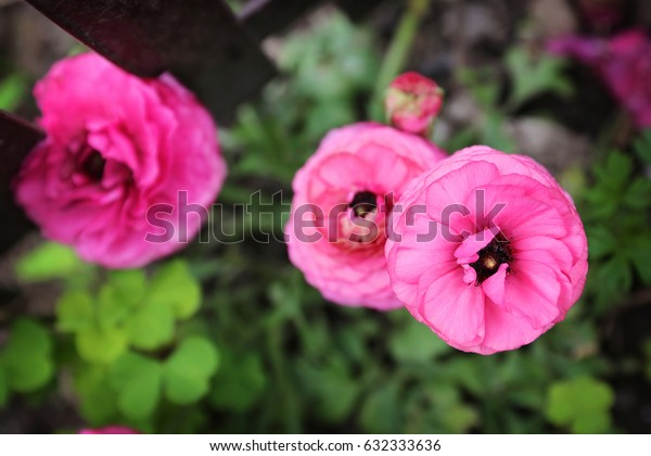 Blooming pink flowers on green background
