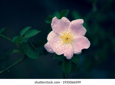 Blooming pink flowers in spring. Rosa canina, hyacinth flower.