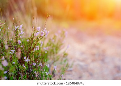 Blooming Pink Heather In The Summer Forest. Heather In Moorland Of Highlands.