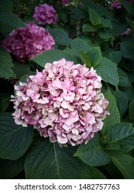Blooming Pink hydrangea flowers among Green leaves