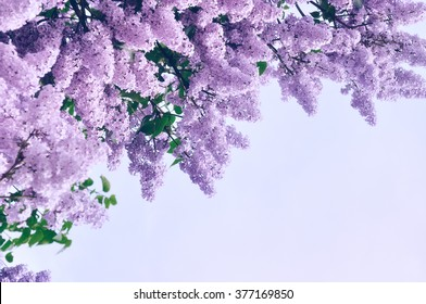 Blooming pink lilac flowers - floral background with free space for text.  Pastel and soft focus processing