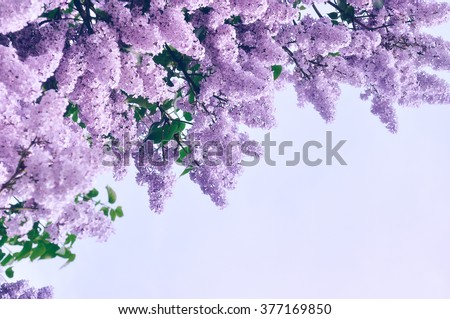 Blooming pink lilac flowers floral background stock photo edit now blooming pink lilac flowers floral background with free space for text pastel and soft mightylinksfo