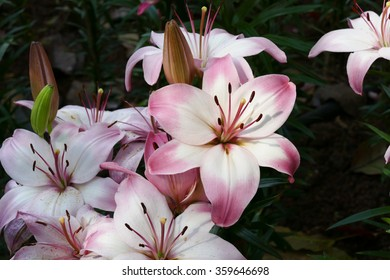 blooming pink lily flower in flowerbed in  the garden