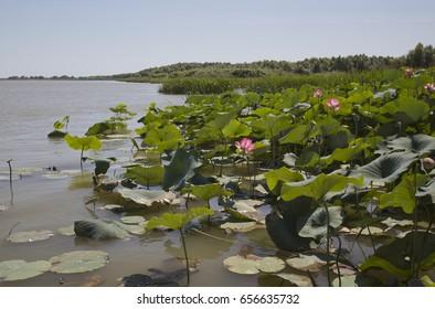The blooming of pink lotus in Astrakhan region, river, summer.