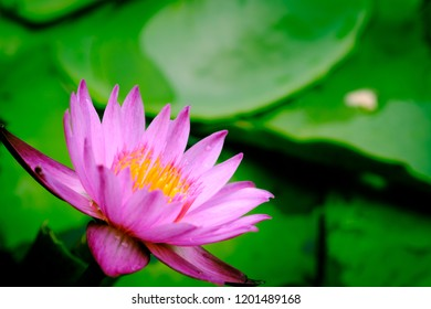 Lotus flower meaning images stock photos vectors shutterstock a blooming pink lotus flower natural background lotus leaf lily pad with copy spce mightylinksfo