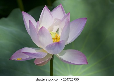 Blooming pink lotus flower in the park