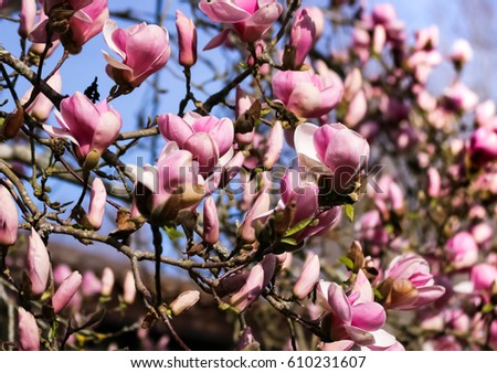 Blooming Pink Magnolia Buds On Tree Stock Photo Edit Now 610231607